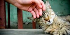 ¿Por qué levantan la cola los gatos cuando les acarician la espalda?