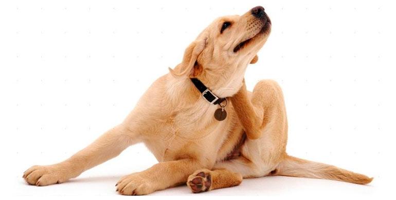 alergias-en-perros