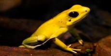 Alimentación de las ranas flecha