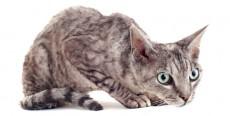 Alopecia felina