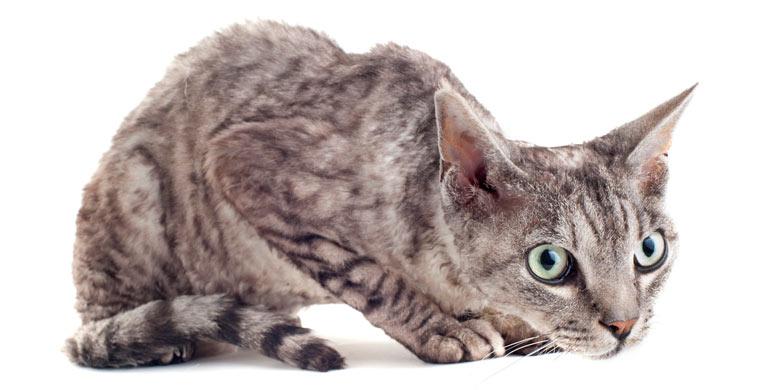 alopecia-felina