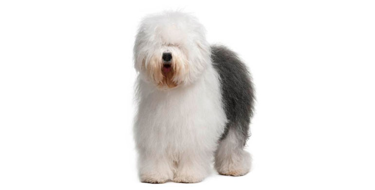 antiguo-perro-de-pastor-ingles-bobtail