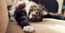 Maullidos y arañazos destructivos en gatos