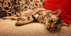 Artrosis felina