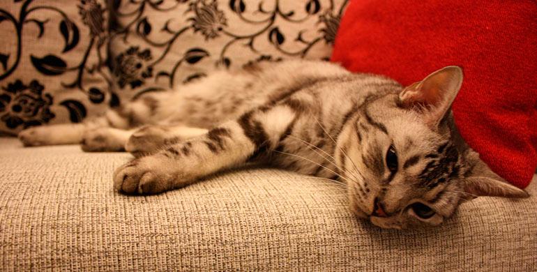 artrosis-felina