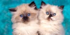 Aseo y cuidados generales del gato Persa