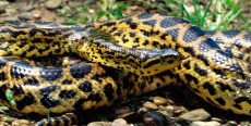 Boas, pitones y anacondas: 10 consejos básicos