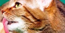 Las bolas de pelo en los gatos (tricobezoares)