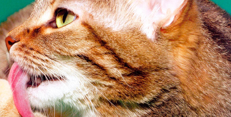bolas-de-pelo-en-los-gatos
