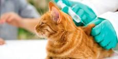 Calendario de vacunación en gatos