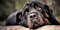 Cardiomiopatía dilatada canina