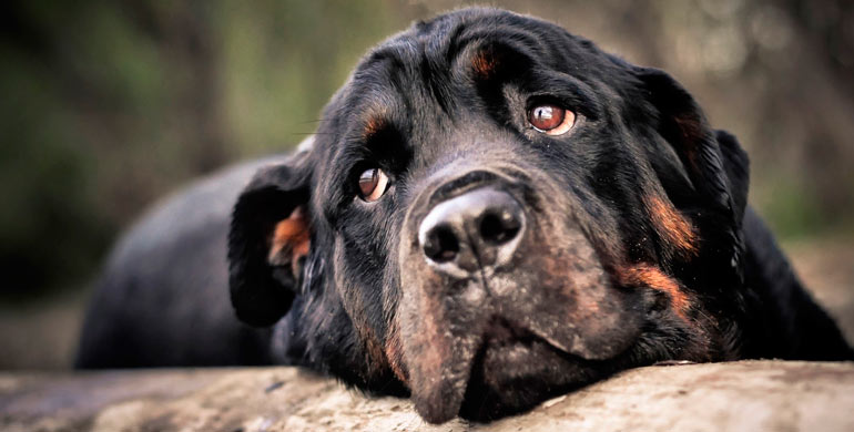 cardiomiopatia-dilatada-canina