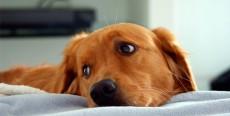 Cardiomiopatía hipertrófica en perros