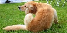 Cheyletiellosis canina