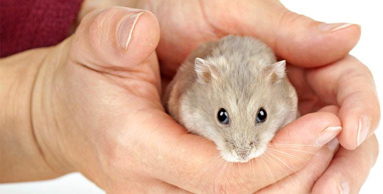 como-elegir-un-hamster