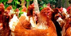 El comportamiento de las gallinas
