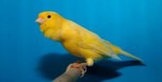 Canarios: 10 consejos básicos