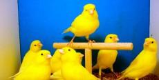 Reglas básicas para cuidar un canario