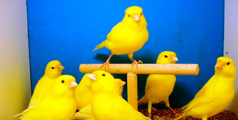 cuidar-un-canario