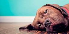 Dilatación y torsión gástrica en perros