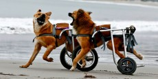 Displasia de cadera en perros