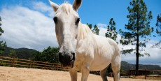 El dolor: causa de problemas de comportamiento en caballos