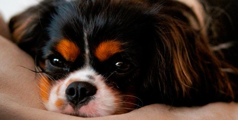 enfermedad-babesiosis-canina