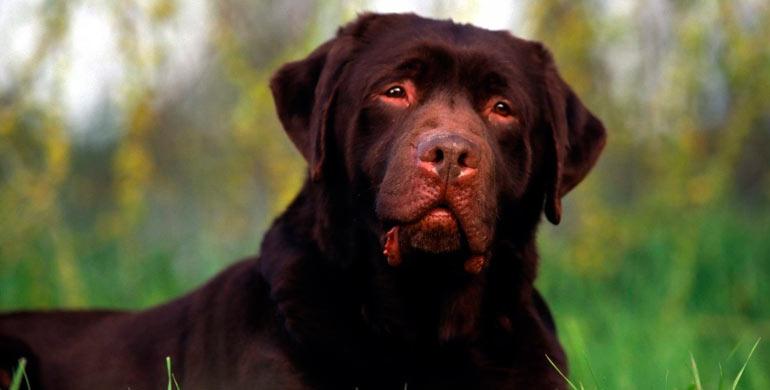 enfermedad-de-von-willebrand-en-perros