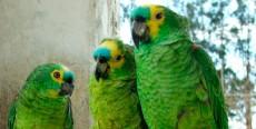 Enfermedades de aves que se detectan mediante sus plumas