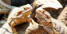 Enfermedades de los dragones barbudos y lagartos de collar
