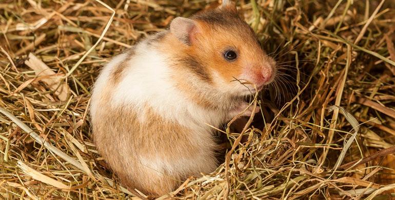 enfermedades-de-los-hamsters