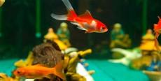 Enfermedades de los peces rojos