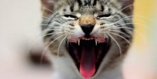 Enfermedades dentales más comunes en gatos