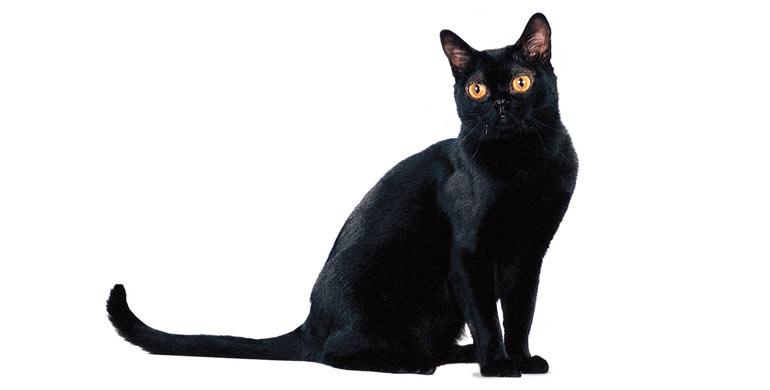 gato-bombay