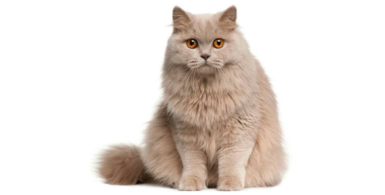 gato-britanico-de-pelo-largo
