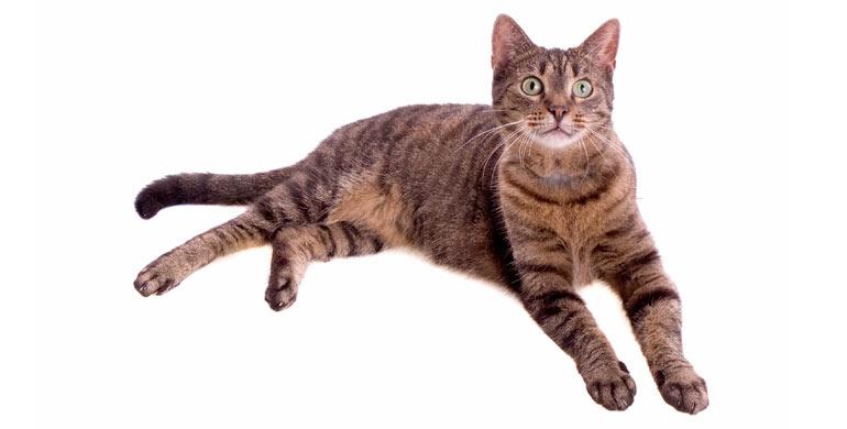 gato-europeo-de-pelo-corto