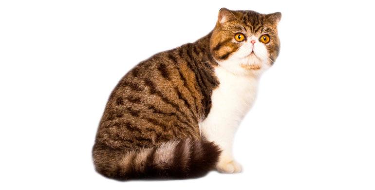 gato-exotico-de-pelo-corto