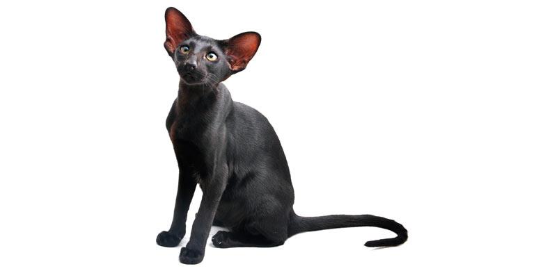 gato-oriental-de-pelo-corto
