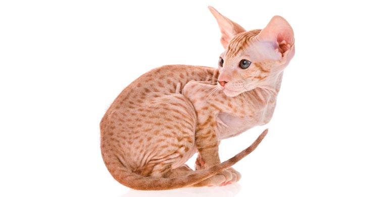 gato-peterbald