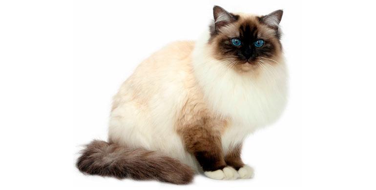 gato-sagrado-de-birmania