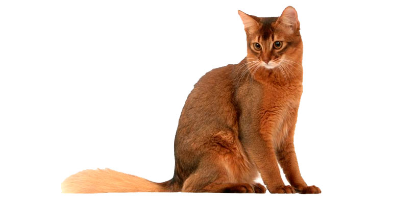 gato-somali