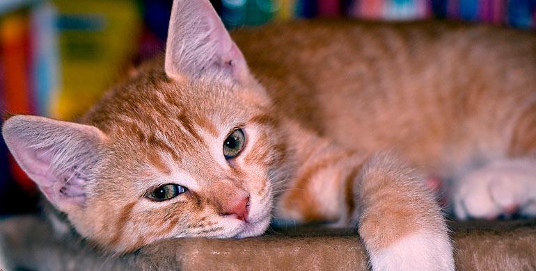 gatos-con-incontinencia
