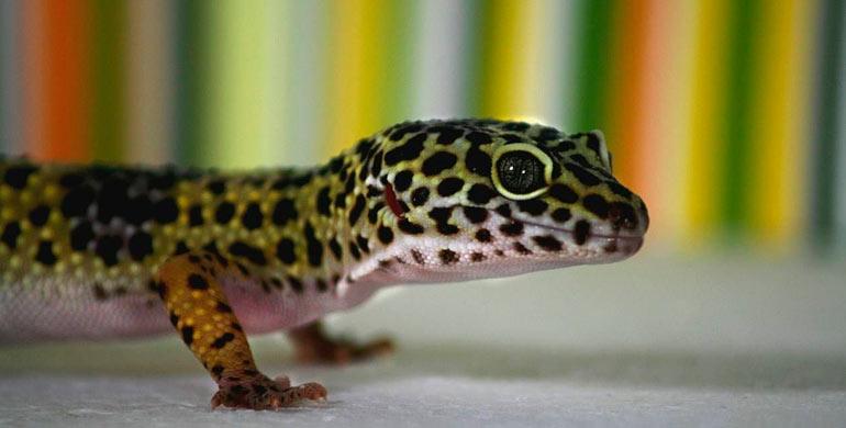 geckos-diurnos