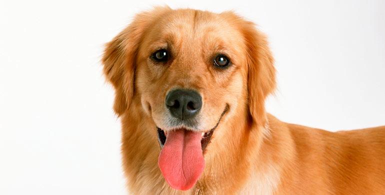 hocico-de-perro