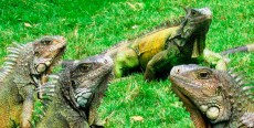 Iguanas lejos de su hábitat natural