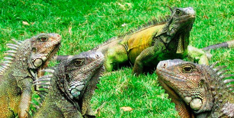 iguanas-habitat-natural