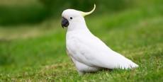 La cacatúa como pájaro de compañía
