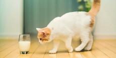 La leche de vaca no es buena para los gatitos