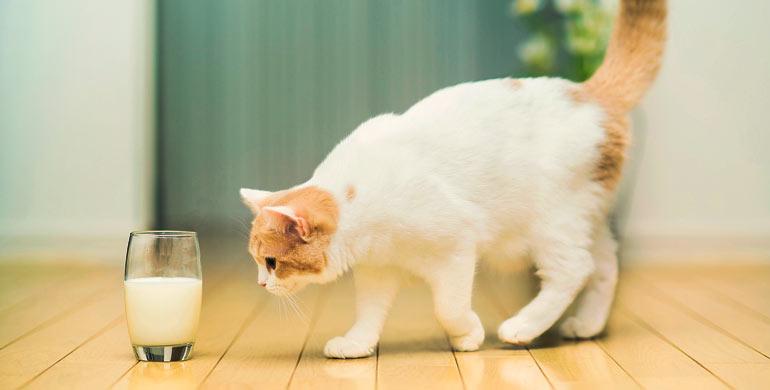 leche-de-vaca-para-gatitos