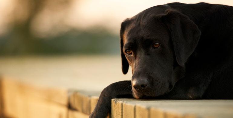 leptospirosis-canina